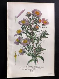 Edward Step 1897 Botanical Print. Michealmas Daisies